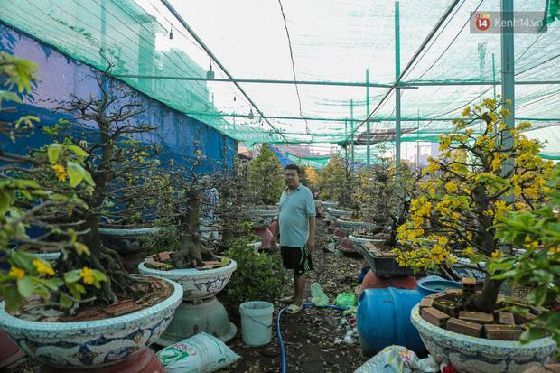 Cả nghìn cây mai Tết nở hoa sớm hơn cả tháng, nhà vườn ở Sài Gòn thiệt hại 15 tỷ đồng - Ảnh 1.