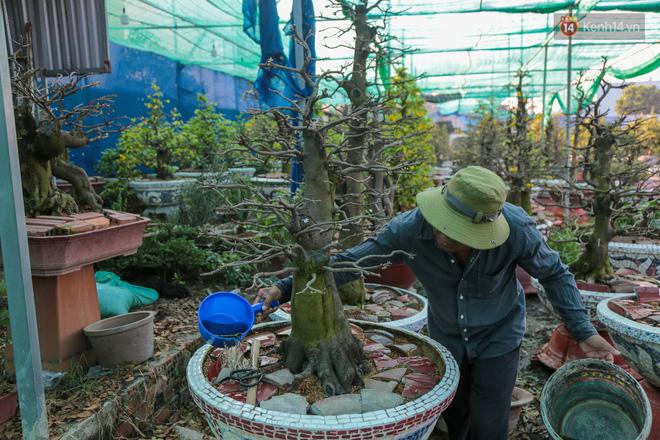 Cả nghìn cây mai Tết nở hoa sớm hơn cả tháng, nhà vườn ở Sài Gòn thiệt hại 15 tỷ đồng - Ảnh 14.