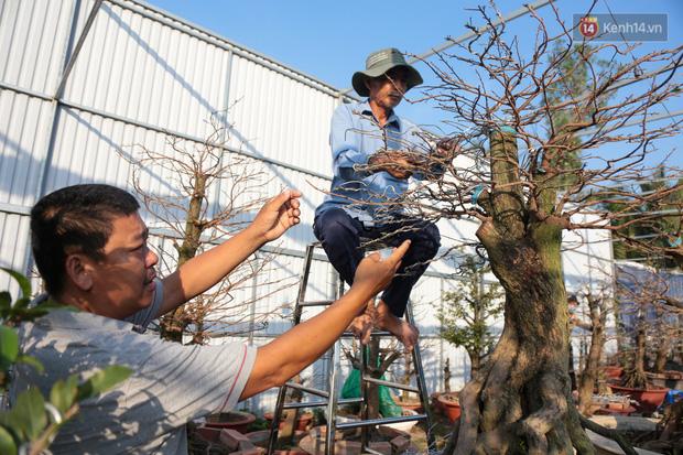 Cả nghìn cây mai Tết nở hoa sớm hơn cả tháng, nhà vườn ở Sài Gòn thiệt hại 15 tỷ đồng - Ảnh 15.