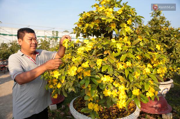 Cả nghìn cây mai Tết nở hoa sớm hơn cả tháng, nhà vườn ở Sài Gòn thiệt hại 15 tỷ đồng - Ảnh 3.