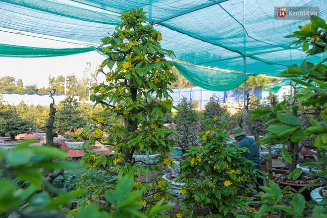 Cả nghìn cây mai Tết nở hoa sớm hơn cả tháng, nhà vườn ở Sài Gòn thiệt hại 15 tỷ đồng - Ảnh 4.