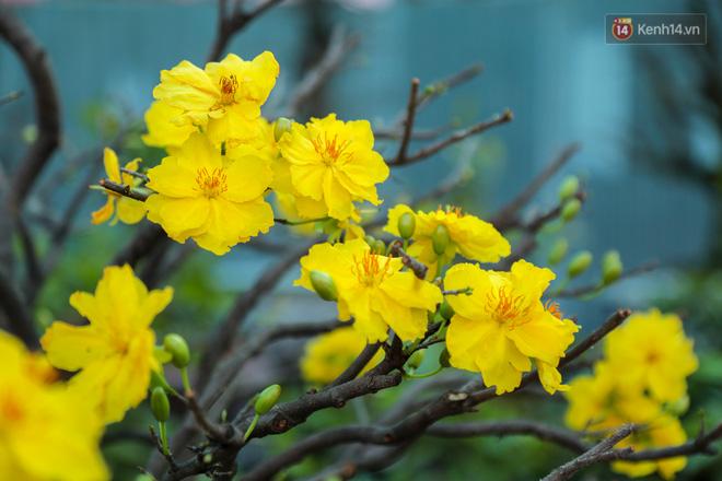 Cả nghìn cây mai Tết nở hoa sớm hơn cả tháng, nhà vườn ở Sài Gòn thiệt hại 15 tỷ đồng - Ảnh 5.