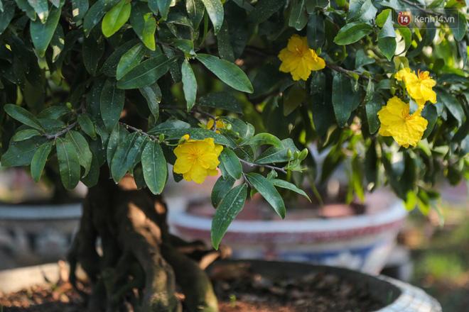 Cả nghìn cây mai Tết nở hoa sớm hơn cả tháng, nhà vườn ở Sài Gòn thiệt hại 15 tỷ đồng - Ảnh 6.