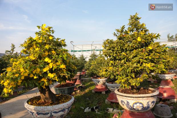 Cả nghìn cây mai Tết nở hoa sớm hơn cả tháng, nhà vườn ở Sài Gòn thiệt hại 15 tỷ đồng - Ảnh 9.