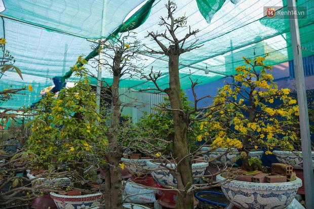 Cả nghìn cây mai Tết nở hoa sớm hơn cả tháng, nhà vườn ở Sài Gòn thiệt hại 15 tỷ đồng - Ảnh 10.