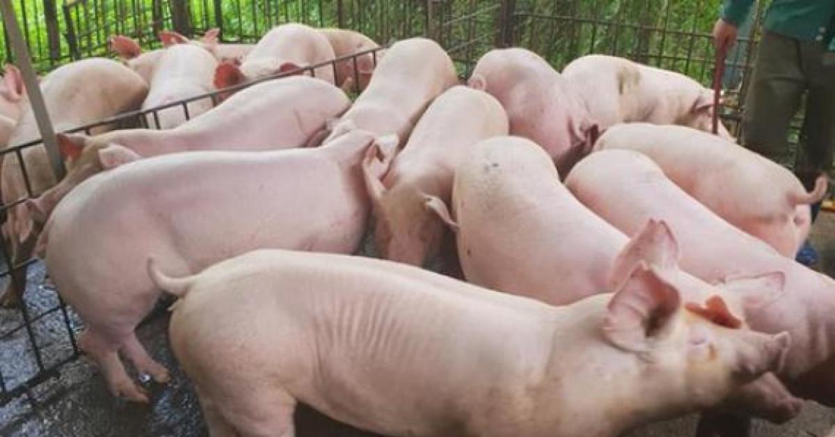 Giá cám tăng cao, lợn hơi bị ép giá, người nuôi lợn… lỗ nặng