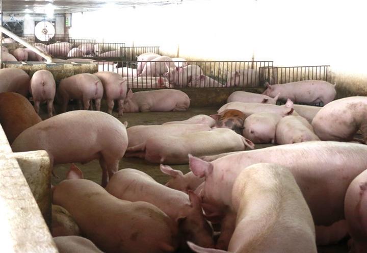 Giá lợn hơi chạm đáy 2 năm - 1