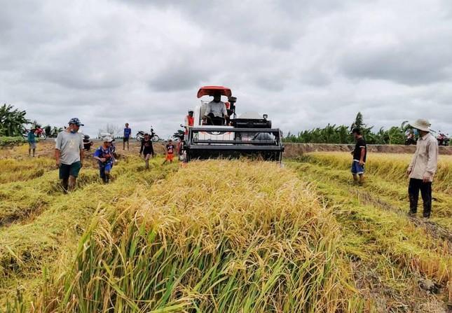 Giá gạo xuất khẩu của Việt Nam tăng mạnh trở lại, vượt gạo Thái Lan